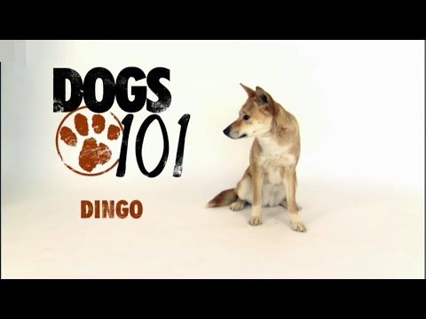 Dogs 101 American Eskimo Eng Youtube Animals That I Would