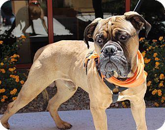 Las Vegas Nv Bullmastiff Mix Meet Boss A Dog For Adoption Bull Mastiff Dog Adoption Pets