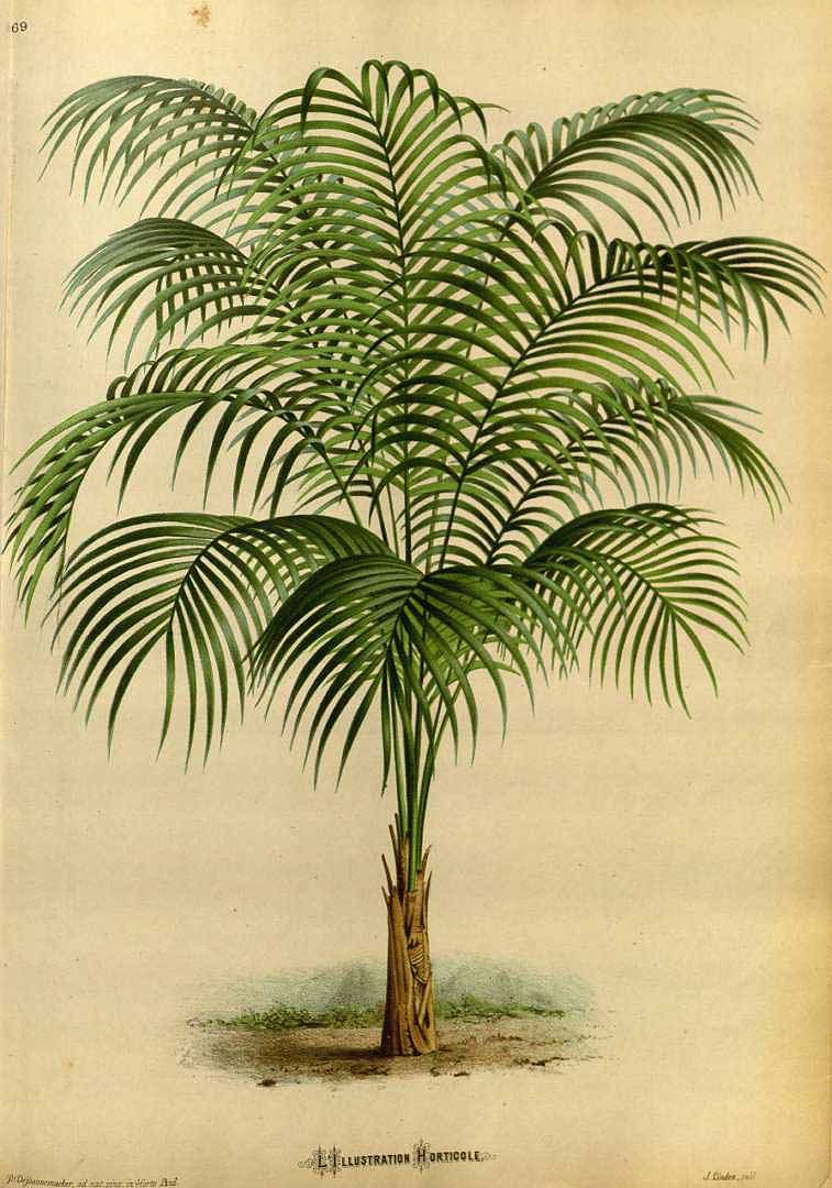 Geonoma cuneata - circa 1871 - Small understory Palm native from ...