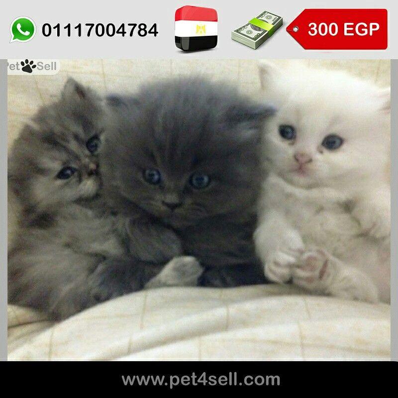 مصر القاهرة ثلاثة قطط شيرازي عمر 45 يوم البيضاء ب 250 والرمادي ب 300 ويفضل يتاخدوا مع بعض علشان يلعبوا سوا Pet4sell Cats Animals