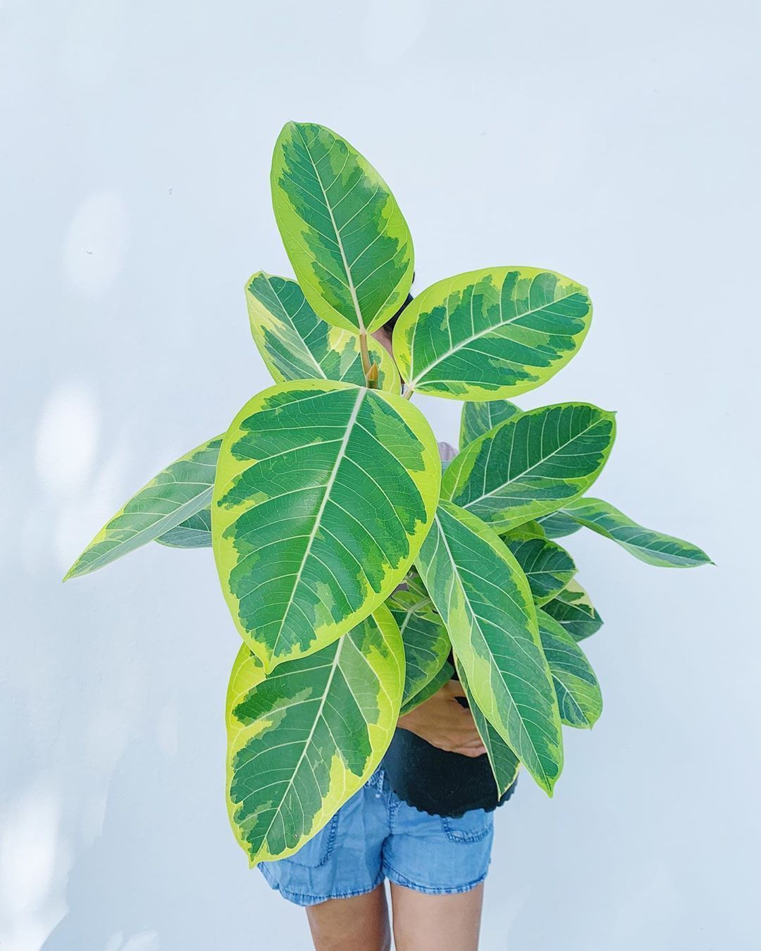 We continue our countdown 6 days to go!These 3 gal Ficus altissima well be a
