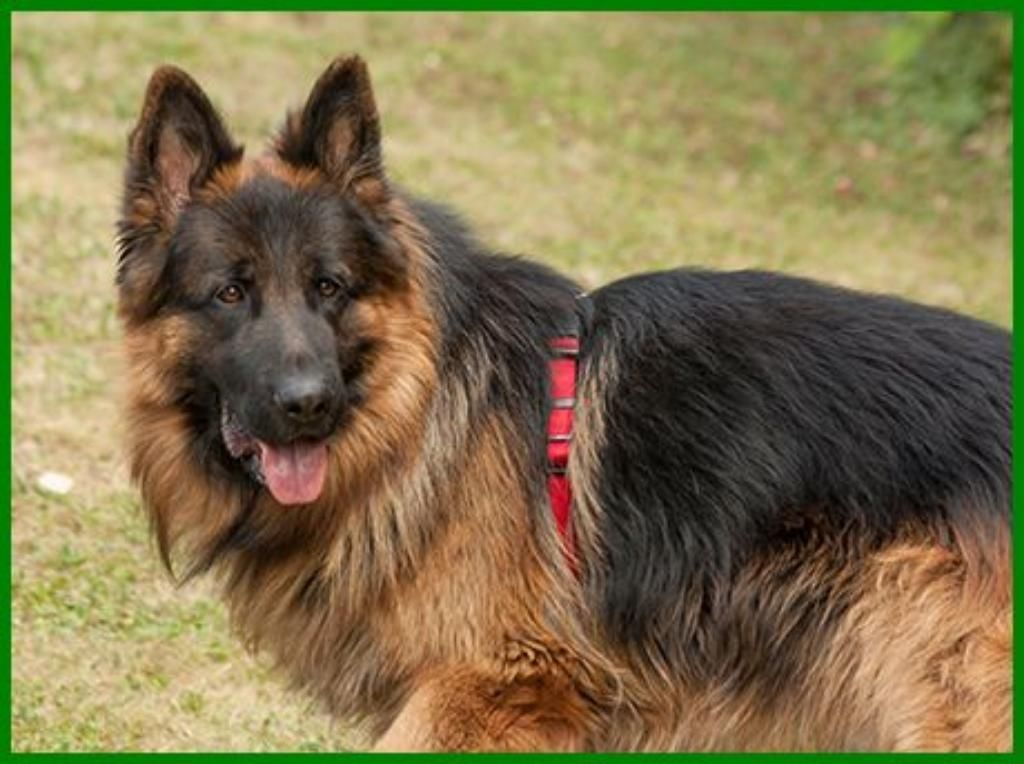 Askan reinrassiger langhaariger Schäferhund 2 Jahre
