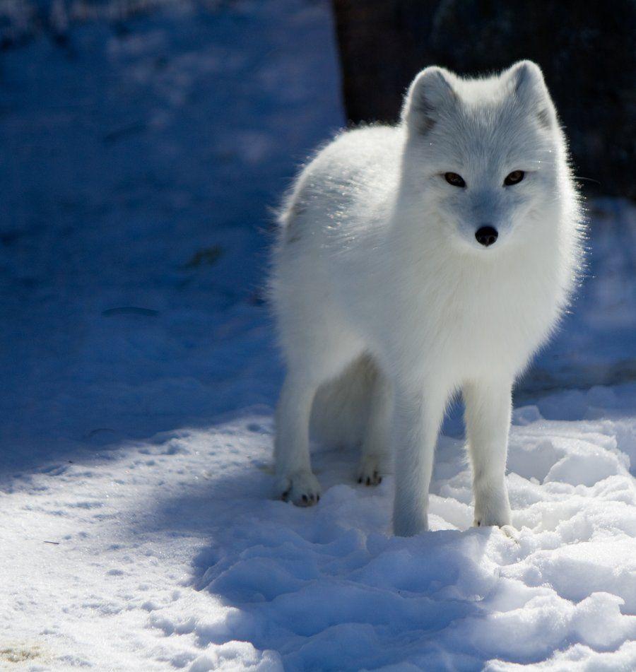 White Fox Drawing