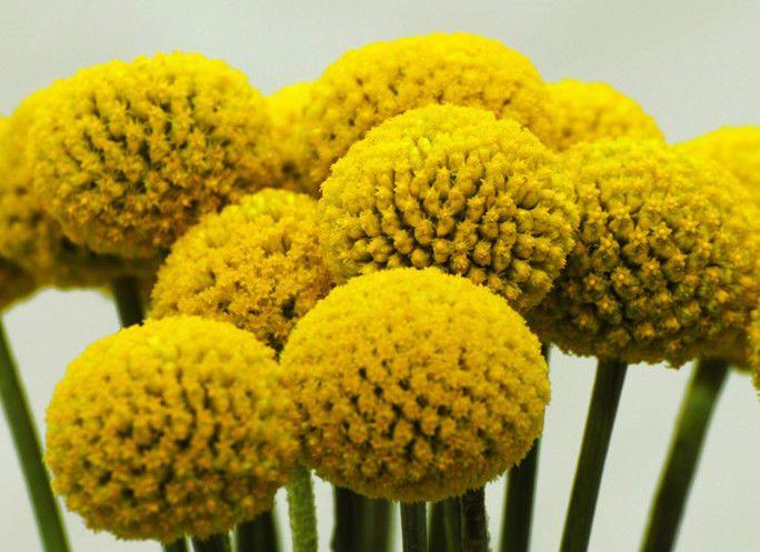 Rare Perennials Craspedia Drumstick Yellow Fl Seeds Flowers Perennials Dried Flower Arrangements Annual Flowers