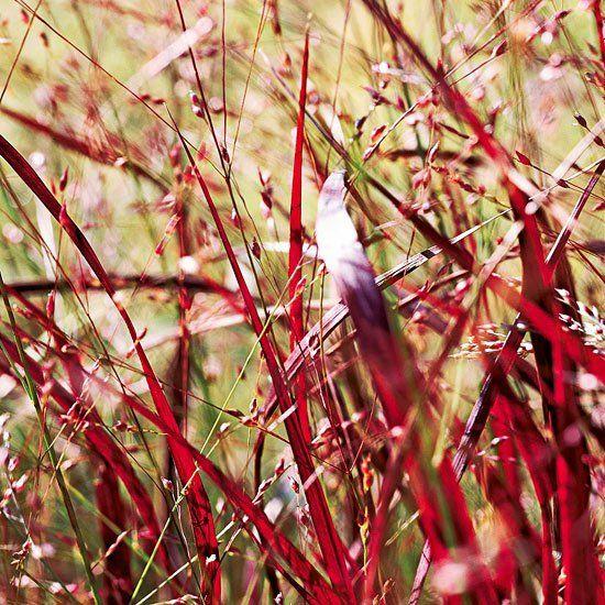 panicum virgatum 6 piante perenni dai magnifici colori autunnali | Guida Giardino