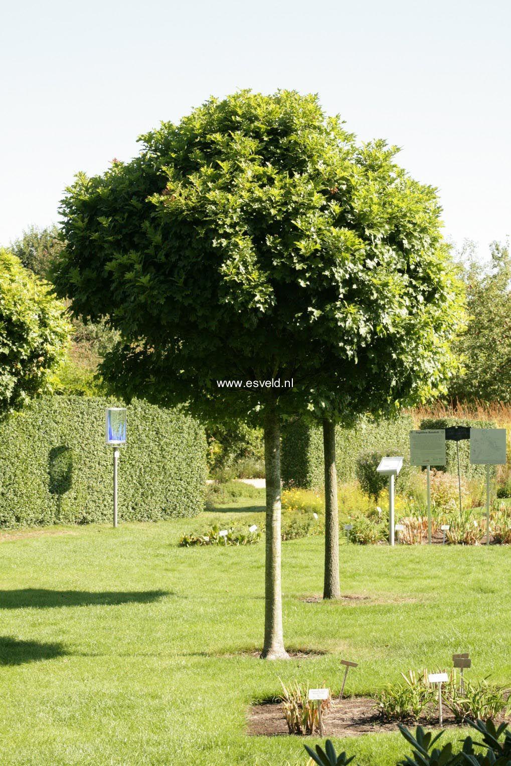quercus palustris green dwarf drevesa pinterest dwarf. Black Bedroom Furniture Sets. Home Design Ideas