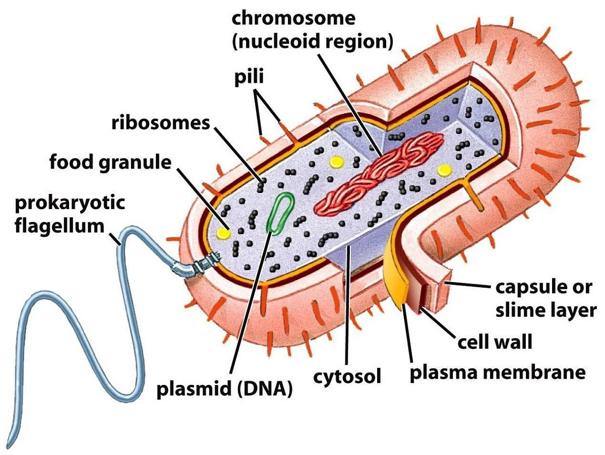 Prokaryotic Cell Diagram Labeled