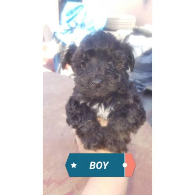 Yorkipoo Cleveland, We have 2 yorkie poo puppies left, 2