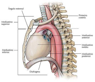 A anatomia cardíaca é uma das mais importantes para a compreensão do ...