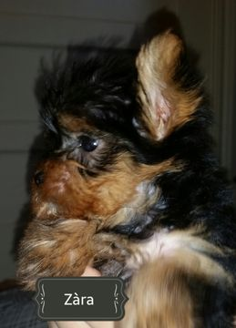 Litter Of 3 Yorkshire Terrier Puppies For Sale In College Station