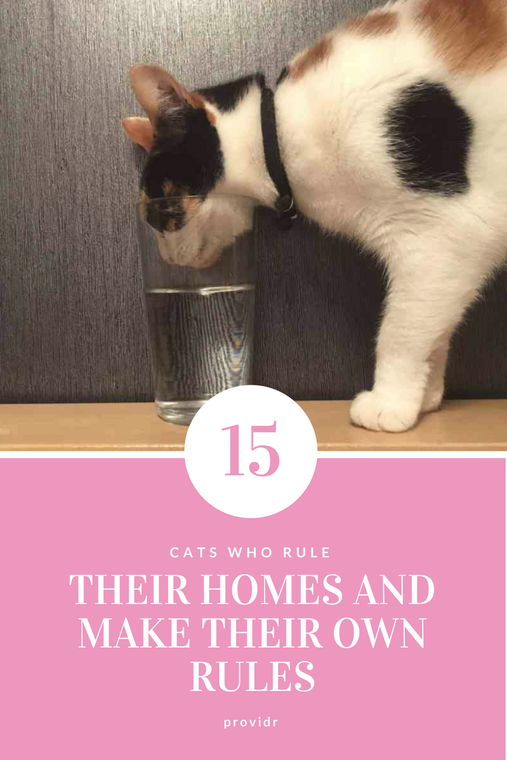 15 Cats Who Rule Their Homes And Make Their Own Rules Siamese Cats Facts Cats Siamese Cats