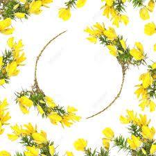 Resultado de imagem para gorse, floral