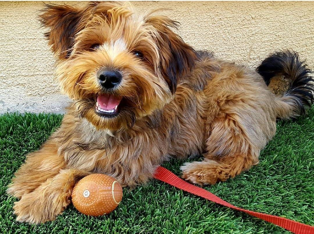 Maltese Yorkshire Terrier Mix 3 Other Yorkshire Terrier Mixes