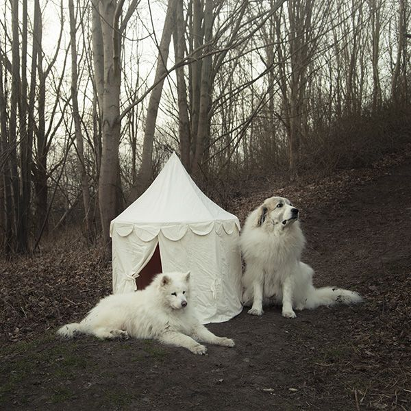 Dogs With A Tent Great Pyrenees And Samoyed Via Ulicam Great