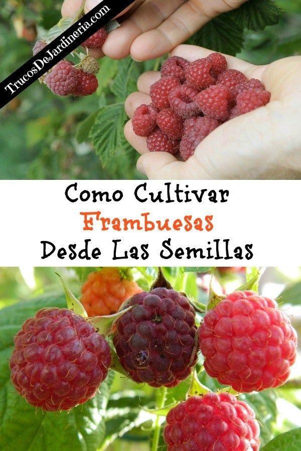 Las Mejores 27 Ideas De Cultivo De Moras Cultivo De Moras Frutas En Macetas Frambuesas Cultivo