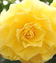 Yellow Begonia, i love yellow flowers cause they remind me so much of spring and summer and its a happy color:)