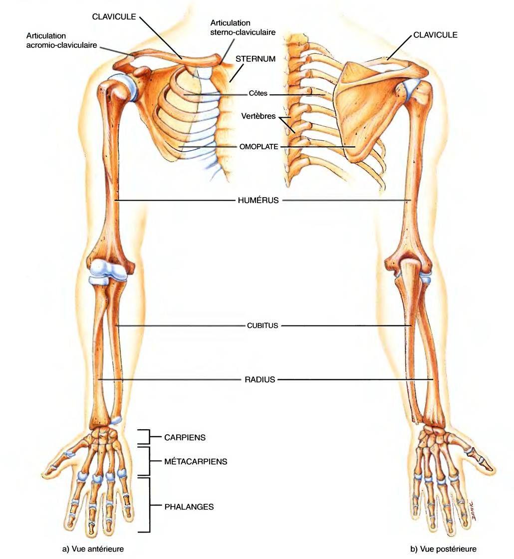 LES MEMBRES SUPÉRIEURS | anatomie | Pinterest | Occupational therapy