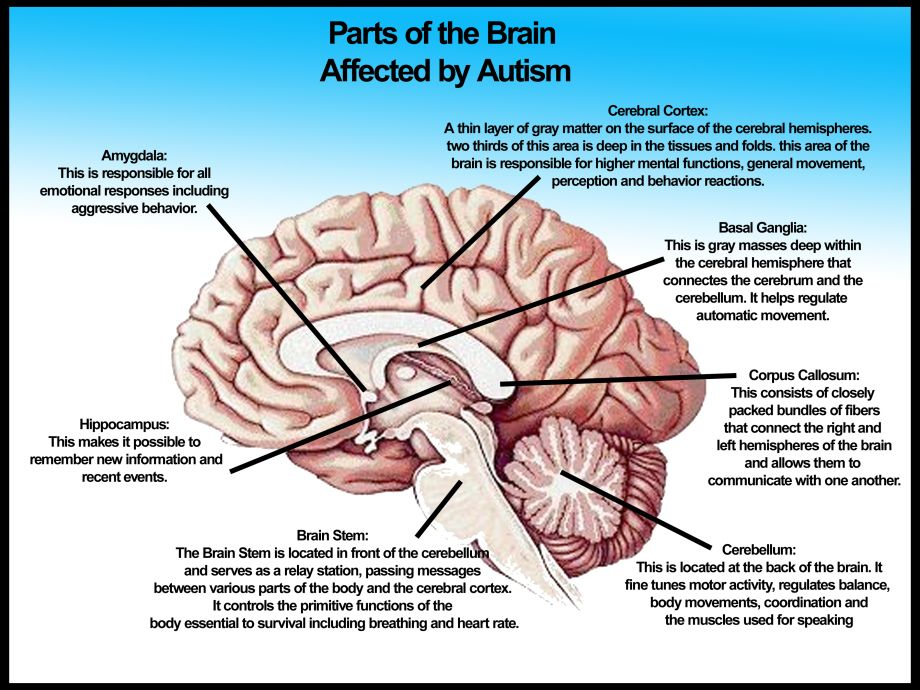 Parts-of-the-brain-affected-by-autism-No-logo3 | Autism Awareness ...