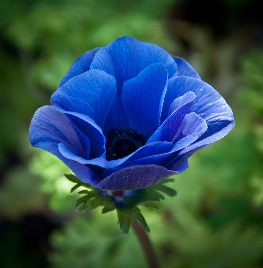 Blue Anemone By Carise On Deviantart Poppy Flower Seeds Flowers Flower Seeds