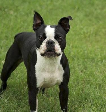 Image Result For Boston Terrier Boston Terrier Pug Boston Terrier Dog Boston Terrier