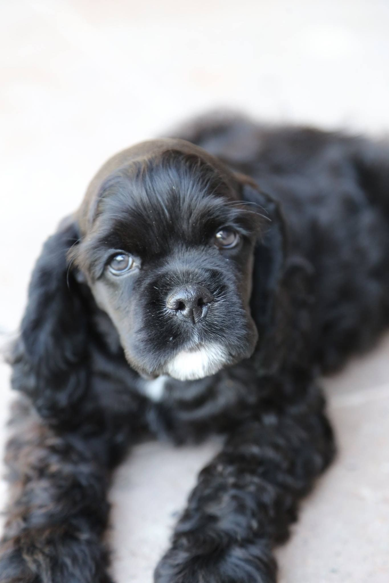 Pin By Judith Alverio Jerez On Pet Love Black Cocker Spaniel Puppies American Cocker Spaniel Spaniel Puppies