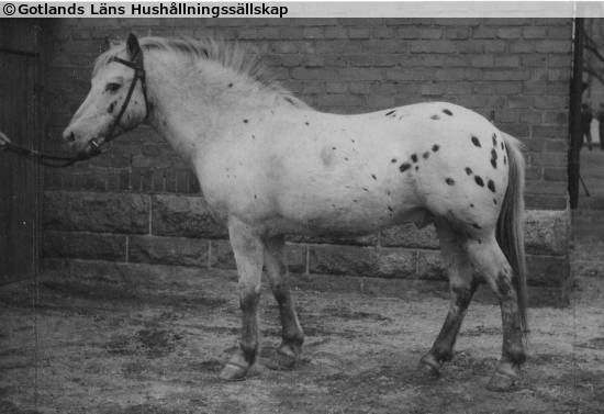 Gotland Russ stallion Baltzar RR 107 (b. 1933 SWE) by Frej out of Vanda. Oh yes, there were (maybe still are?) spotted Russis! Their colour came from the first studbook stallion Khediven RR1 whose sire was an Arabian Halim DB and dam a Scanian mare with spotted colouring and mostly unknown lineage