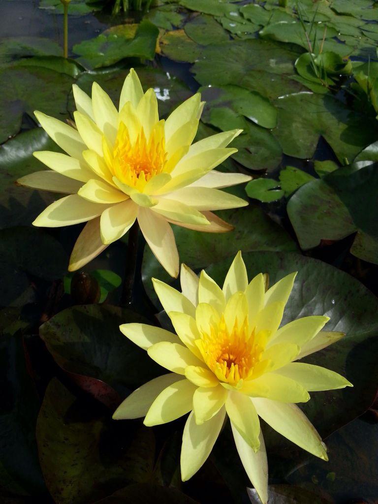 Fiori Gialli Acquatici.Immagine Su Taoism Shinto Tibetan Buddhism Di Lavinia Pavan