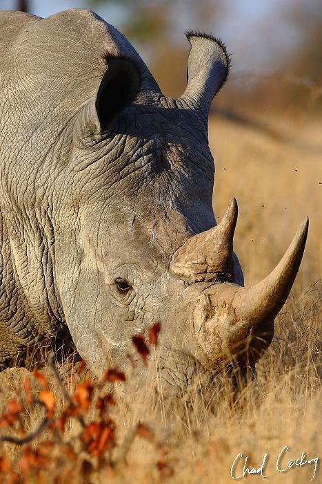 *Rhino