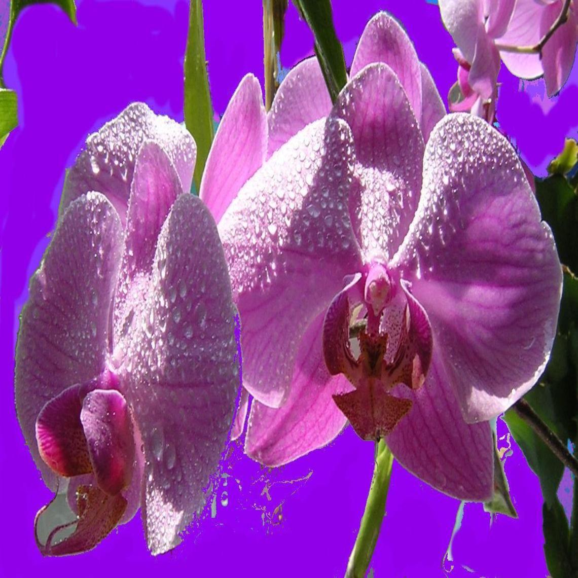Lavender orchid wallpaper pinterest rock