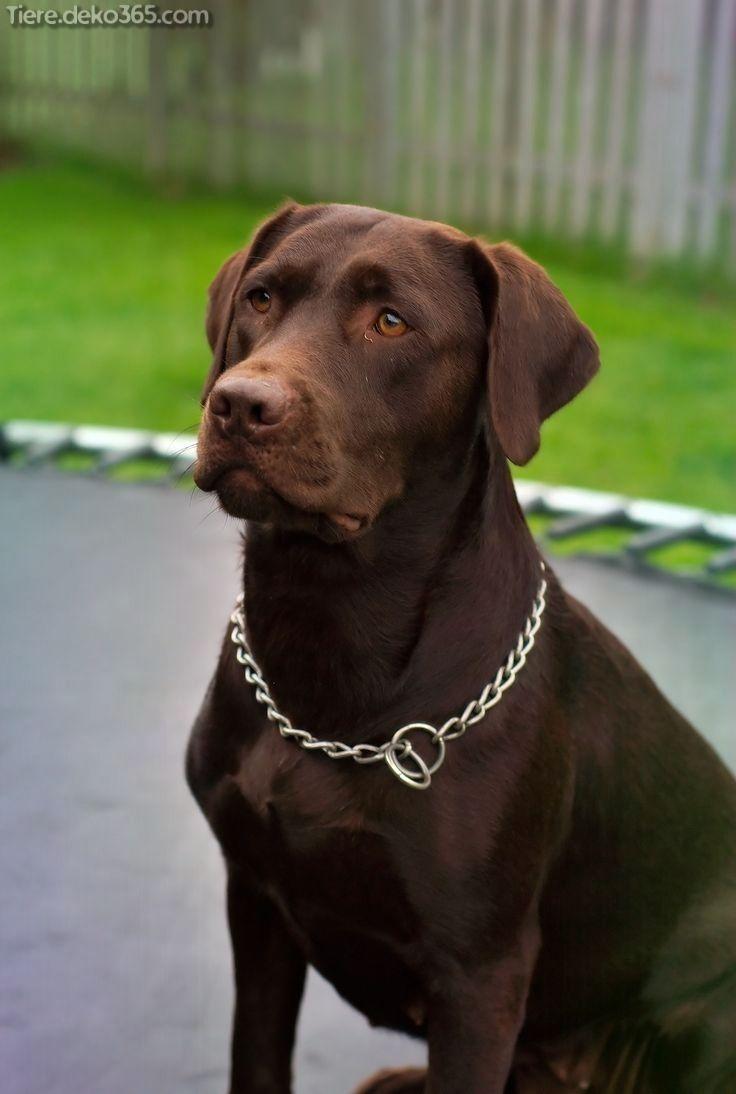 Photo of Excelente chocolate Labrador Fotos de archivo