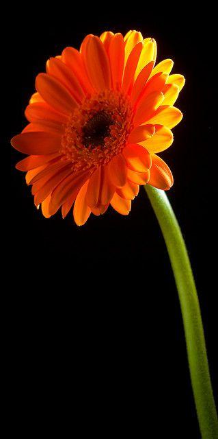 Gerbera Two Pretty Flowers Gerbera Gerbera Daisy