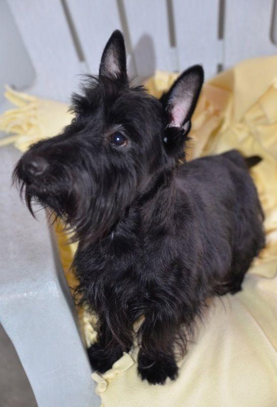 Adopt Wally On Scottie Dog Work With Animals Four Legged
