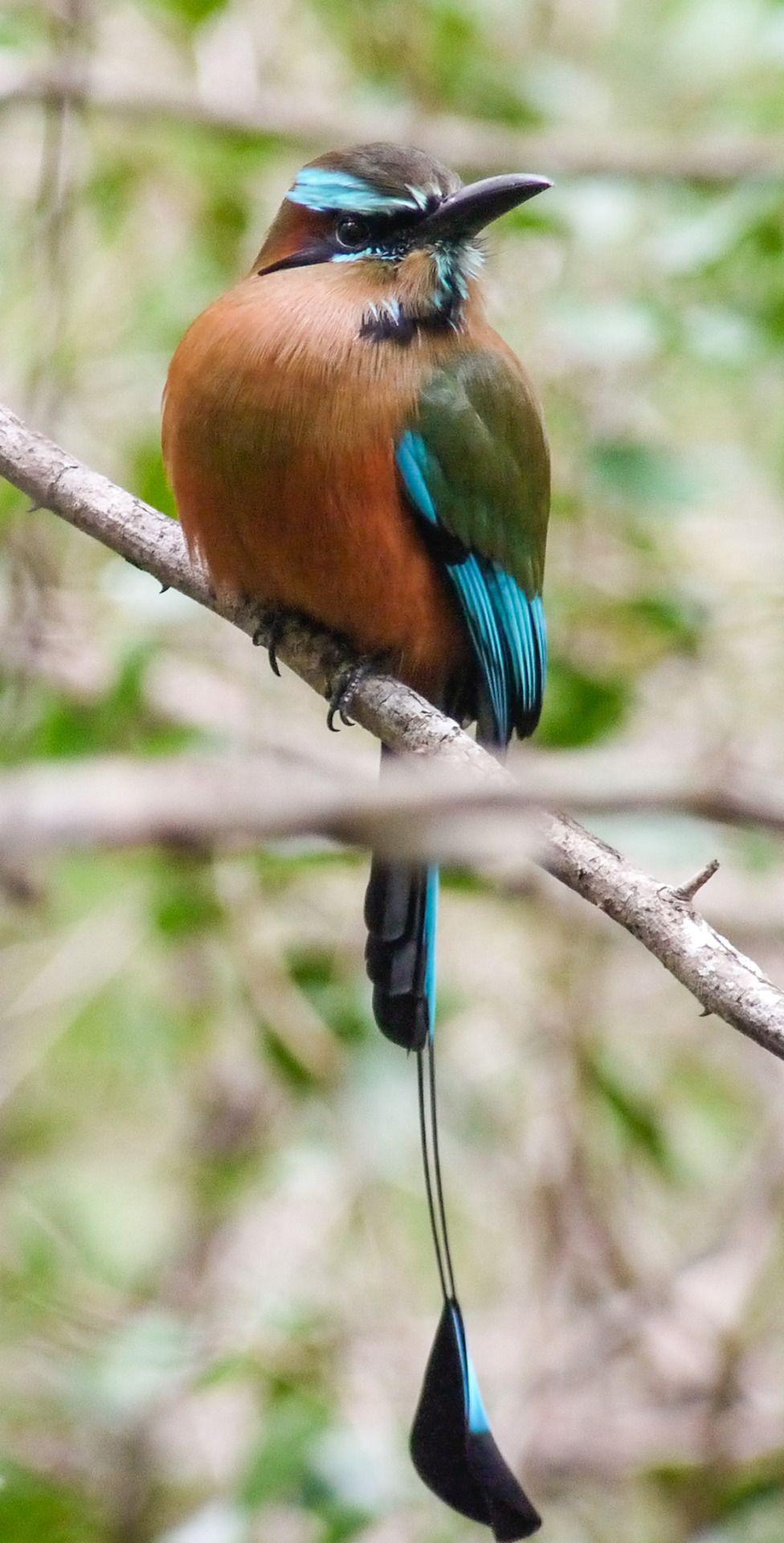 Naturaleza y más: debunkshy: Turquoise-browed Motmot Yucatán, MX