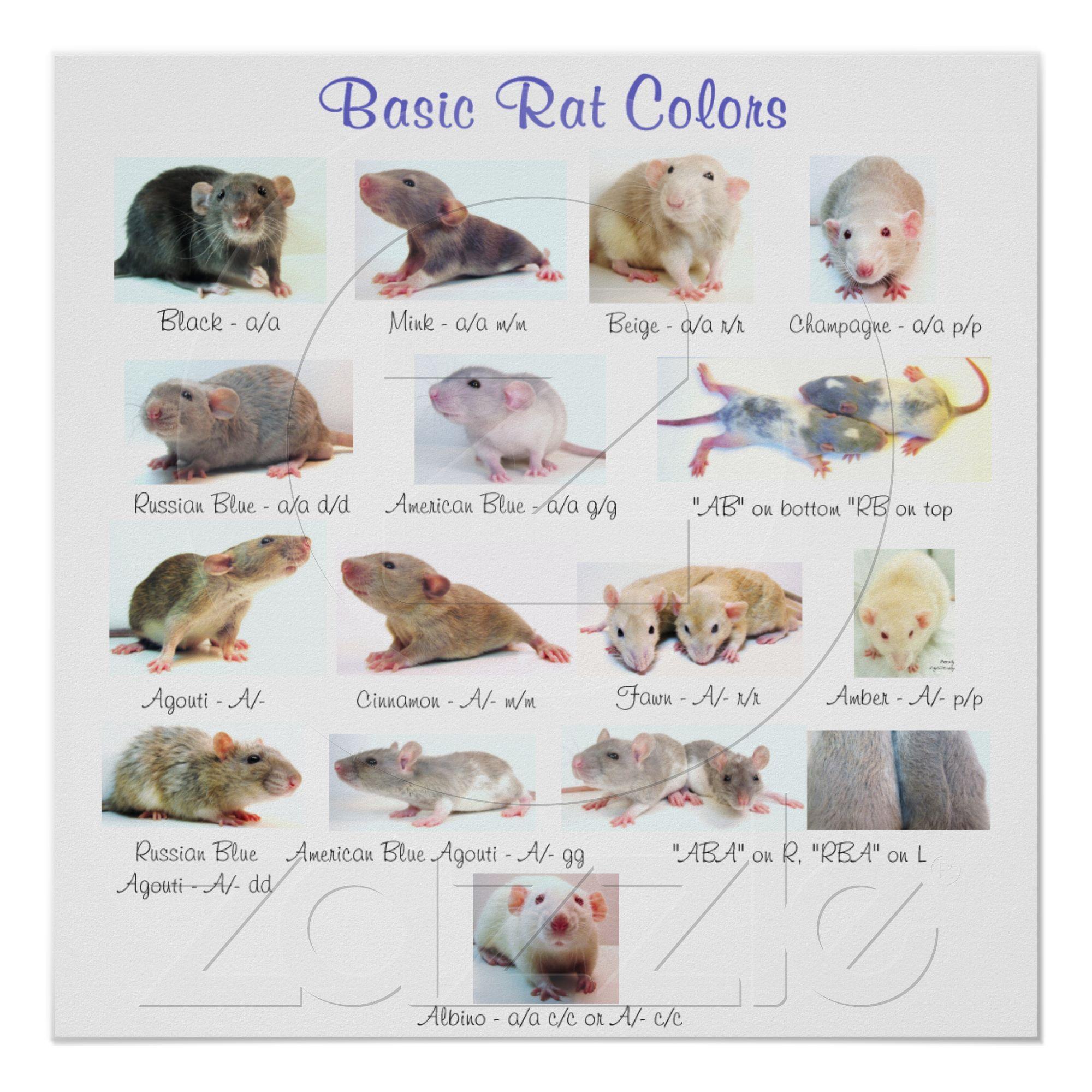 Basic Rat Colors Poster | Zazzle.com | Pet rats, Baby rats, Cute rats