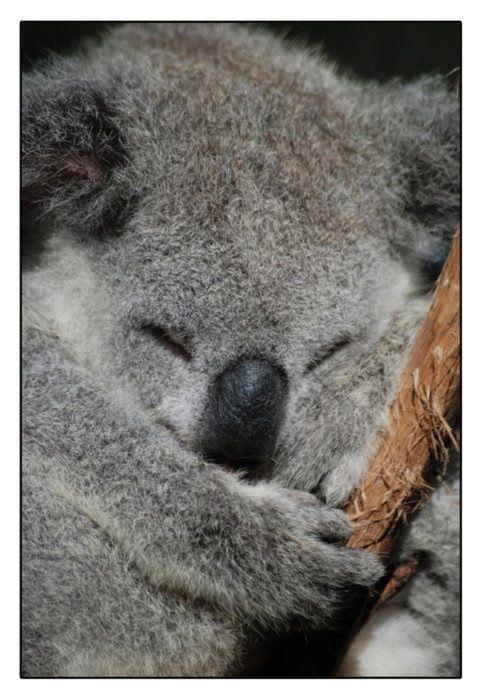 Kola Bear Cute Small Animals Rainforest Animals Koala