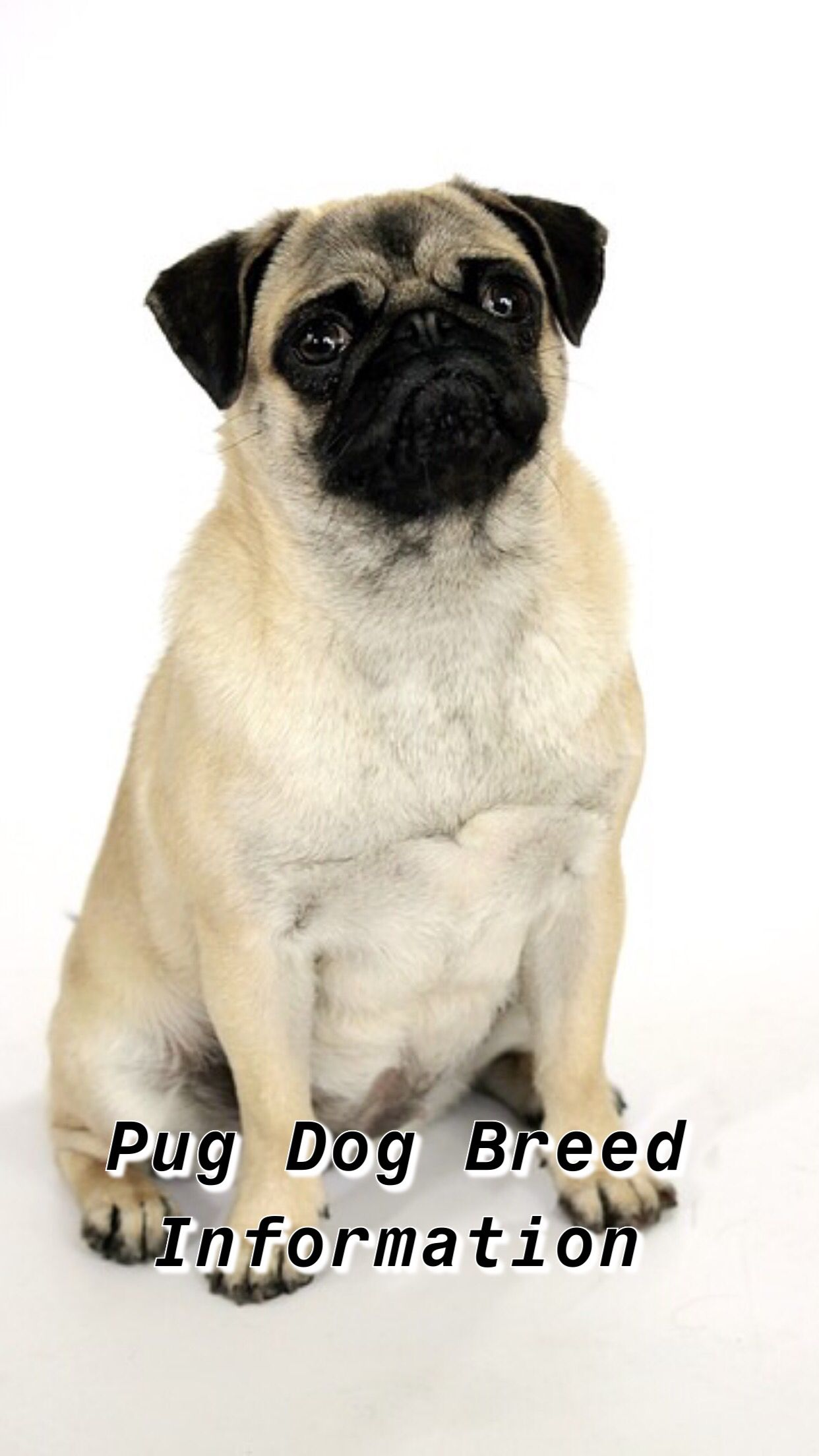 Pin By Ariffh On Puggs In 2020 Dog Breeds Pug Dog Pug Breed