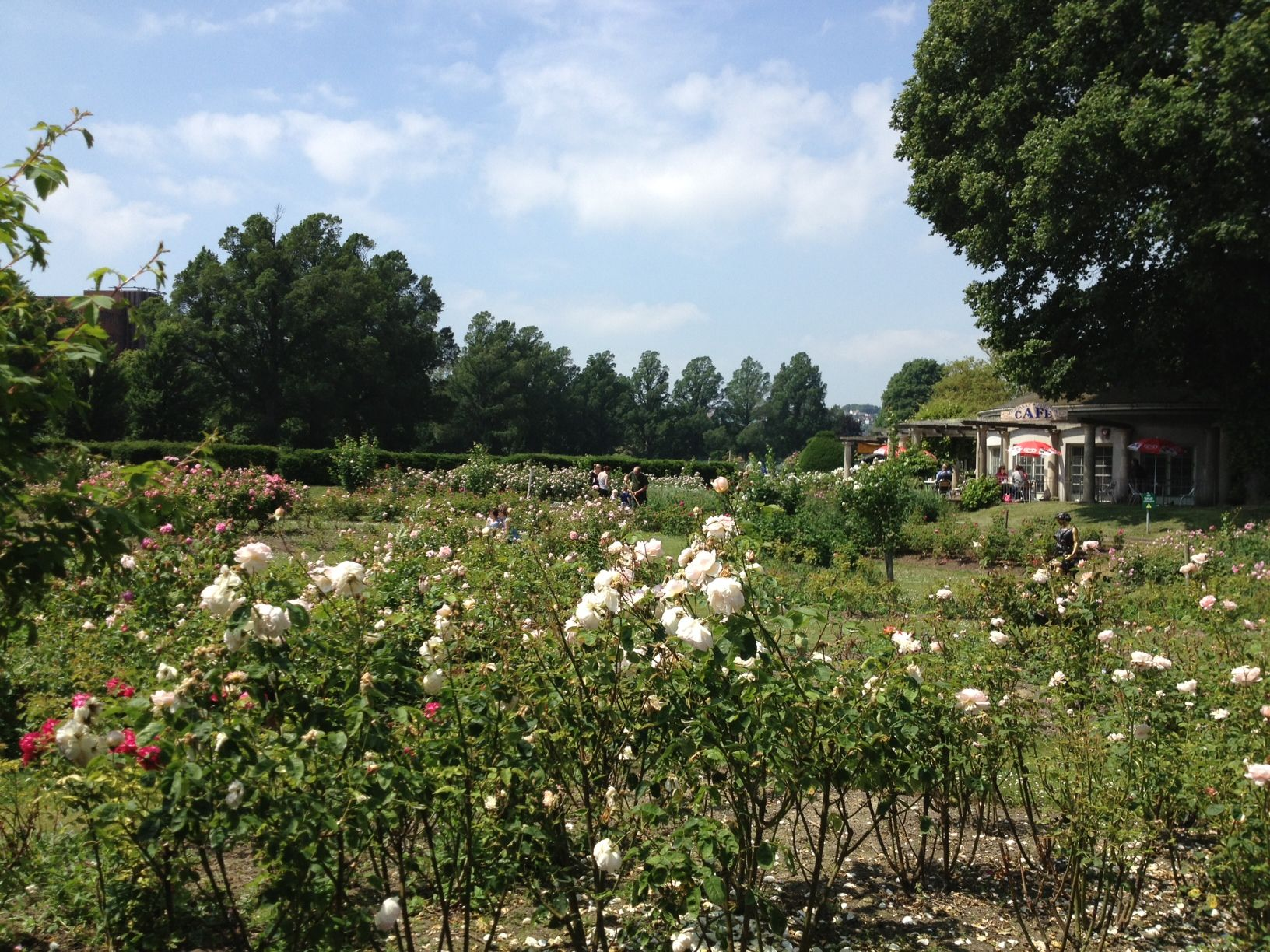 Right now the rose garden at Preston Park smells