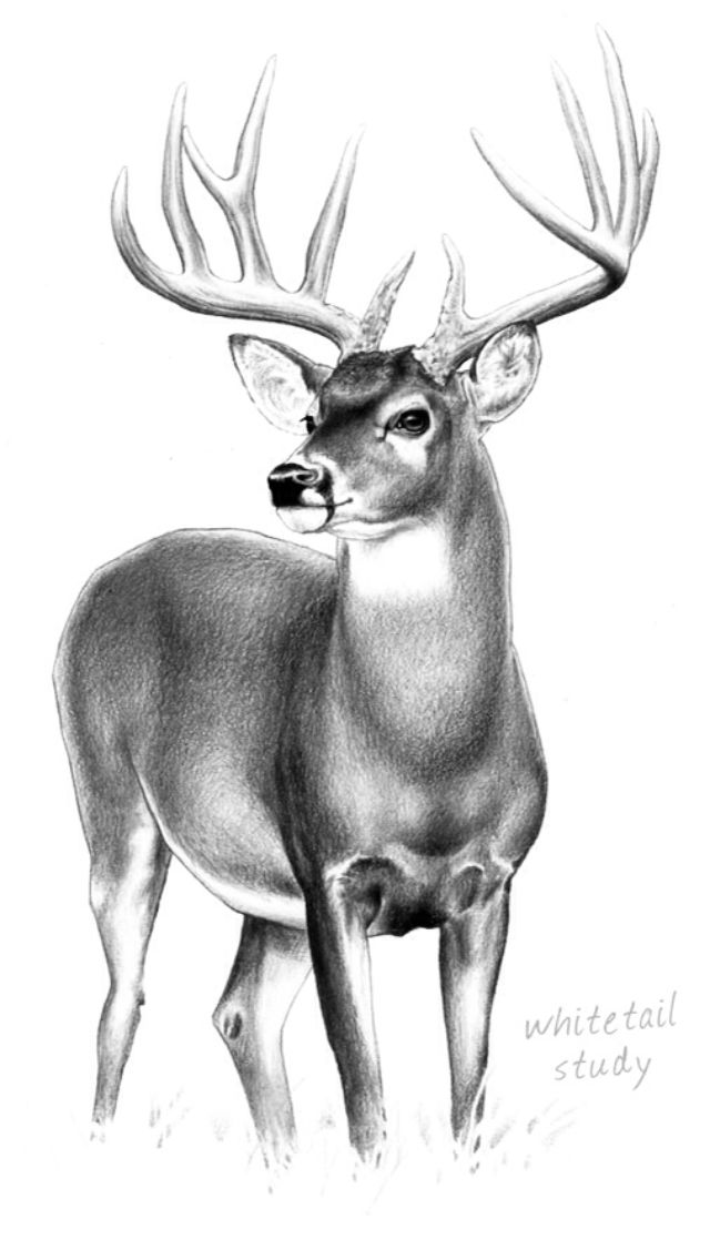 Pencil drawing | Deer painting