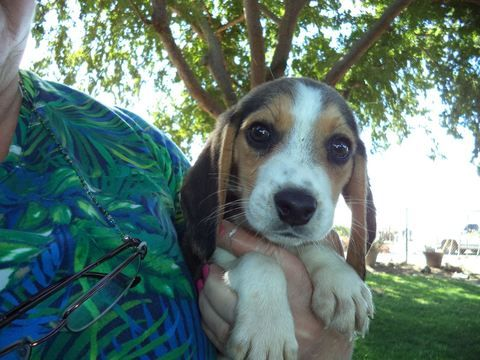 Litter Of 6 Beagle Puppies For Sale In Fresno Ca Adn 48884 On