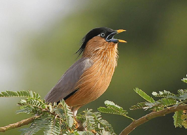 Makanan Burung Jalak Brahmana Di Dalam Perawatannya Burung Jalak Makanan Burung