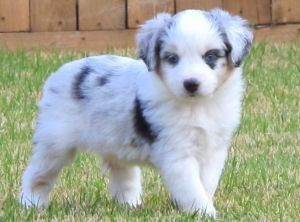 Harley Toby Litter Male Blue Merle 3 West Texas Mini Aussies