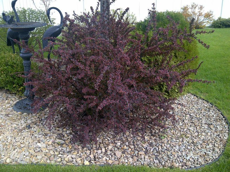 Ruby carousel barberry