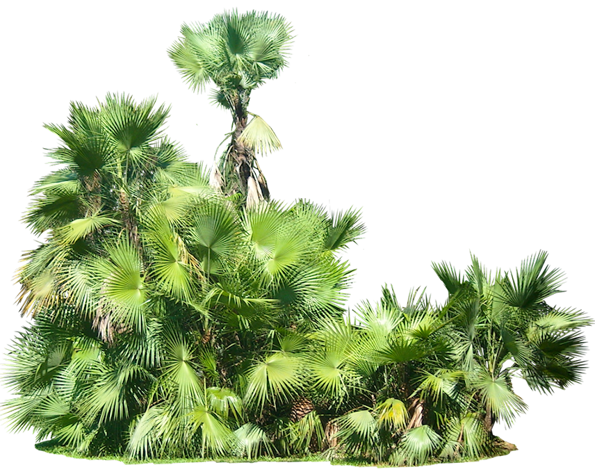 Tropical Plant Pictures: Acoelorrhaphe wrightii