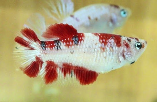 AquaBid.com - Item # fwbettashmp1422247567 - FEMALE KOI#1++++PREMIUM GRADE++++ - Ends: Sun Jan 25 2015 - 10:46:07 PM CDT