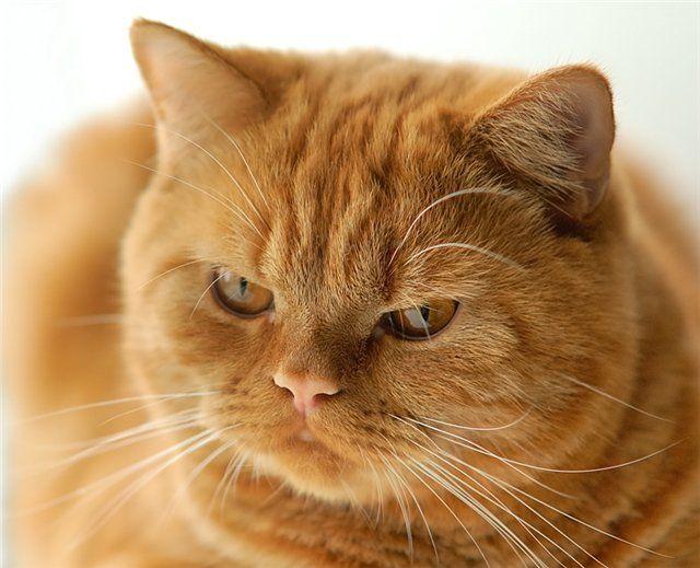 Картинки по запросу кот британец рыжий