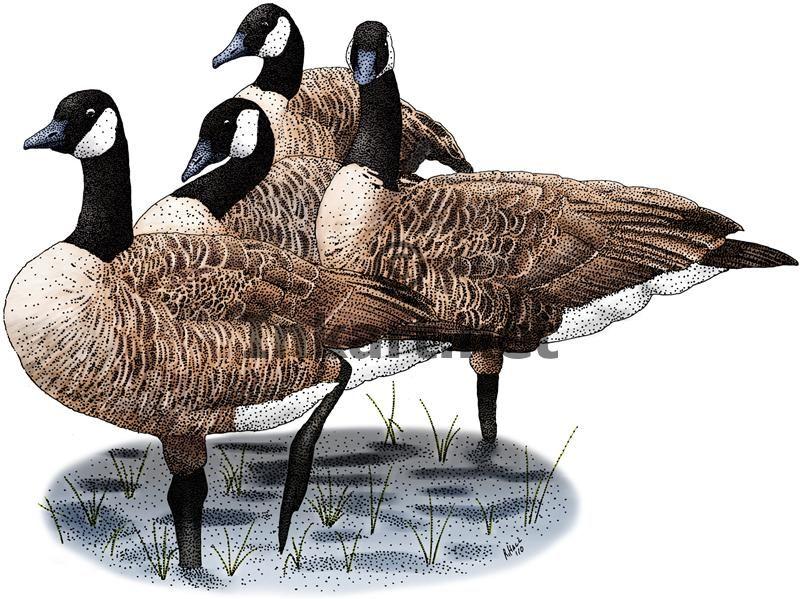 canada goose branta line
