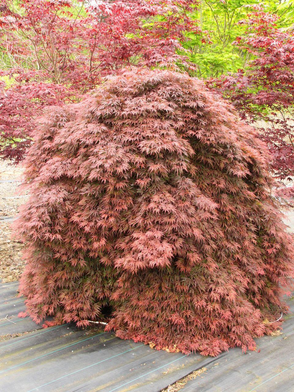 Acer Palmatum Orangeola Specimen 1373 Maples Acer Palmatum
