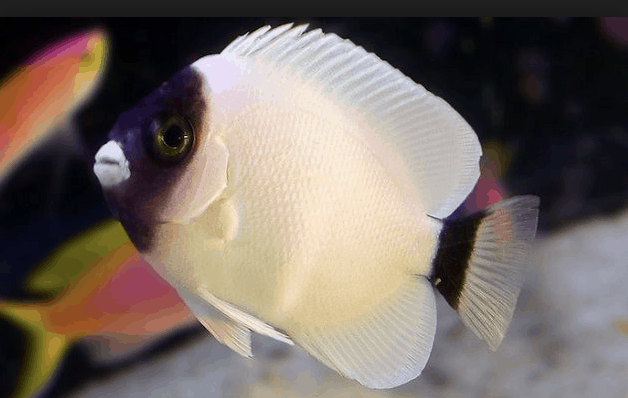 Saltwater Fish You Dream About Owning 16 Most Expensive Saltwater Fish Marine Fish Aquarium Fish Saltwater Fish Tanks