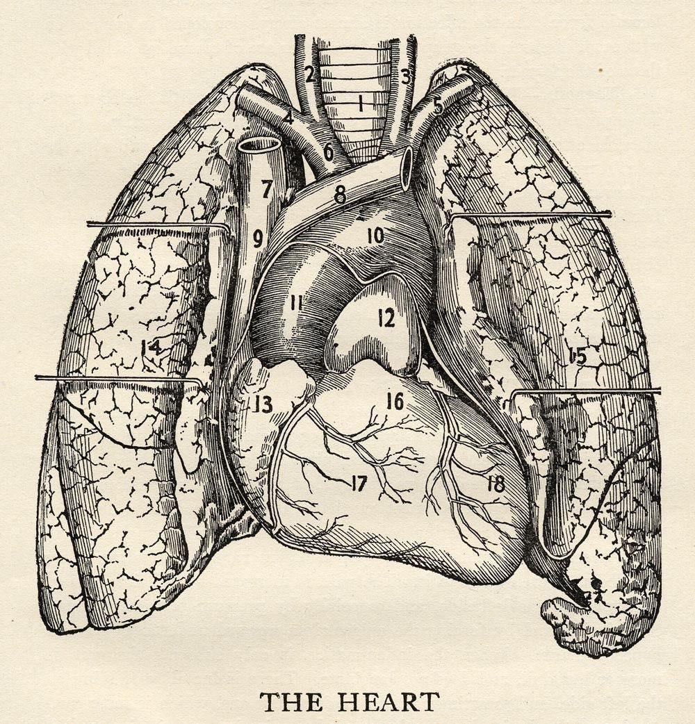 1917 Heart scientific Illustration. | Rare Book / Symboles ...