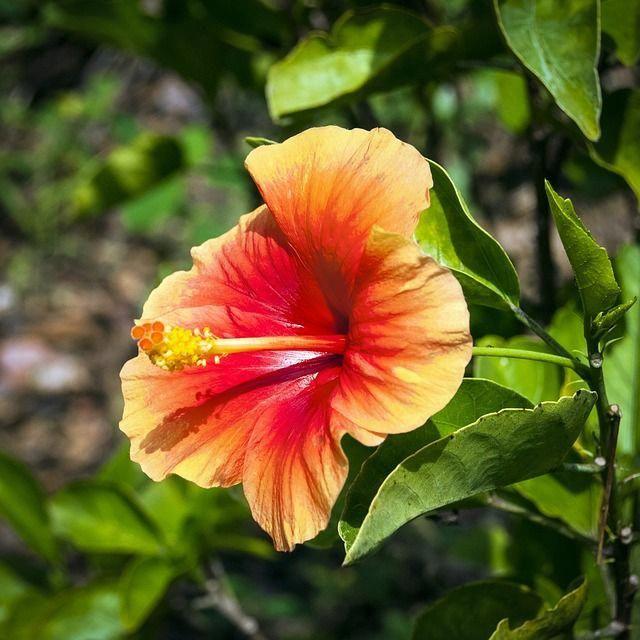 Hibiscus Flower Classification Hibiscus Hibiscus Hibiscus Plant